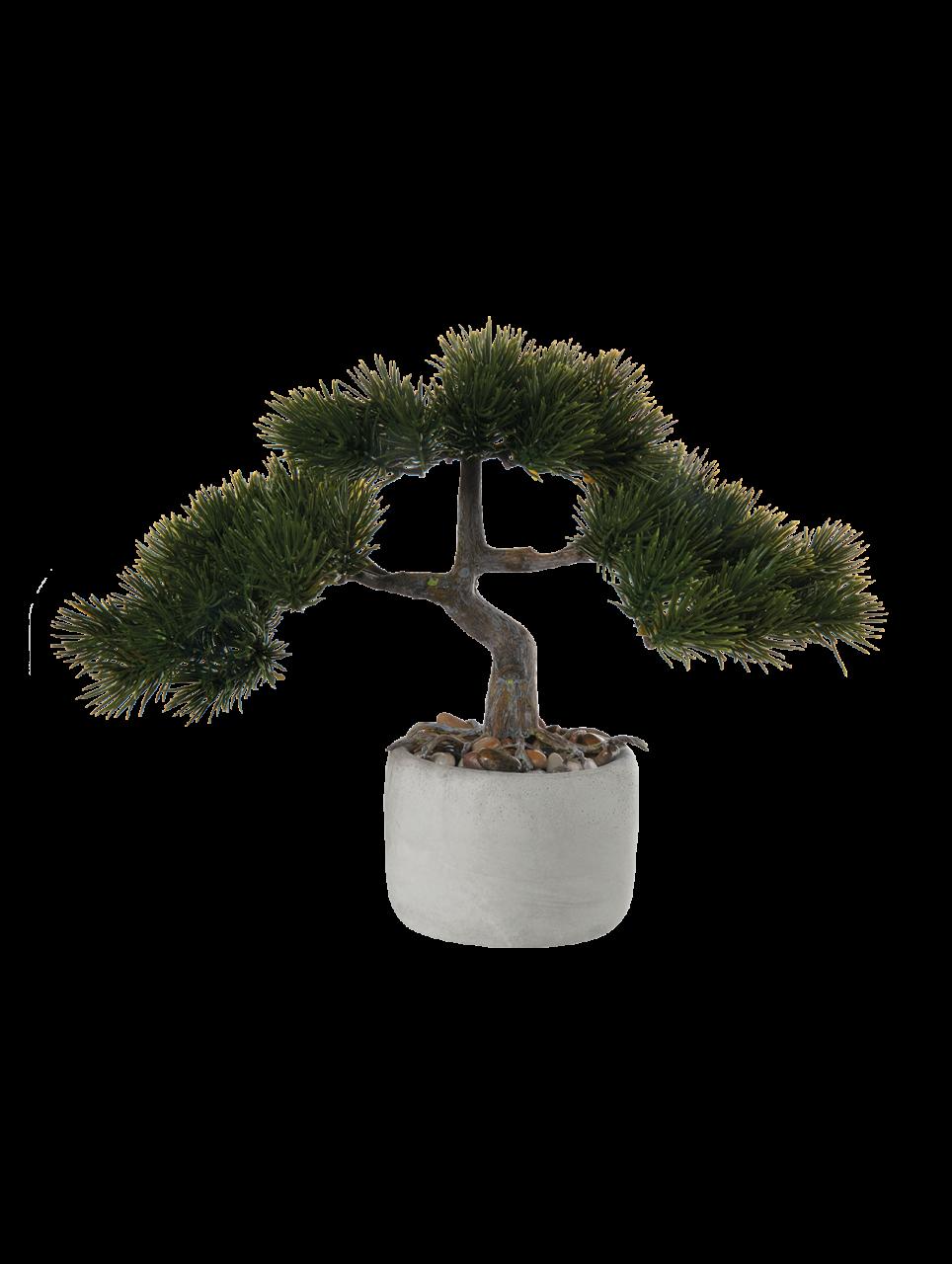 Bonsai Kiefer. pinus mugo