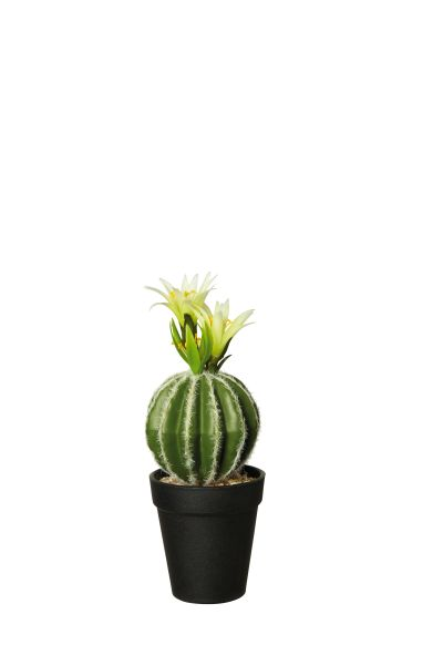 Goldkugel Kaktus mit Blüte