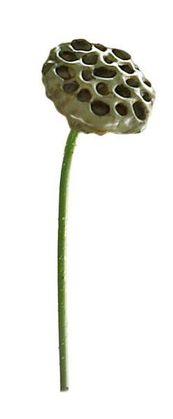 *Lotus-Kapsel, braun, L.69 cm