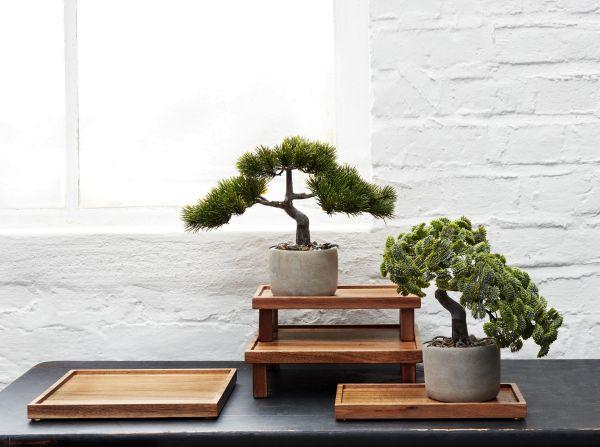 Bonsai Muschelzypresse