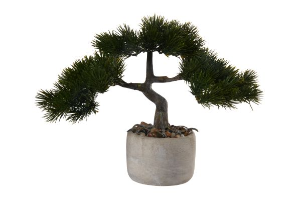 Bonsai Kiefer. pinus mugo