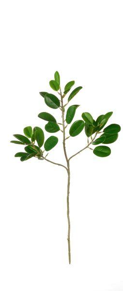 Ficus Blattzweig