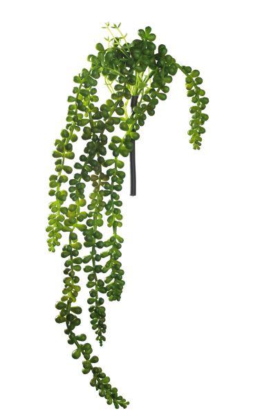 Sukkulente hängend, grün