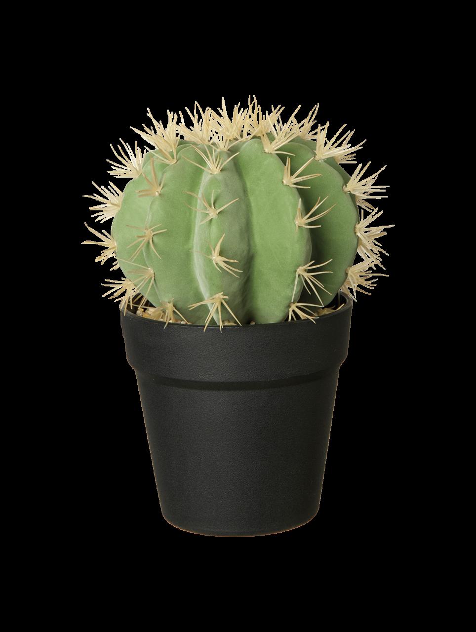 Goldkugel Kaktus im Topf